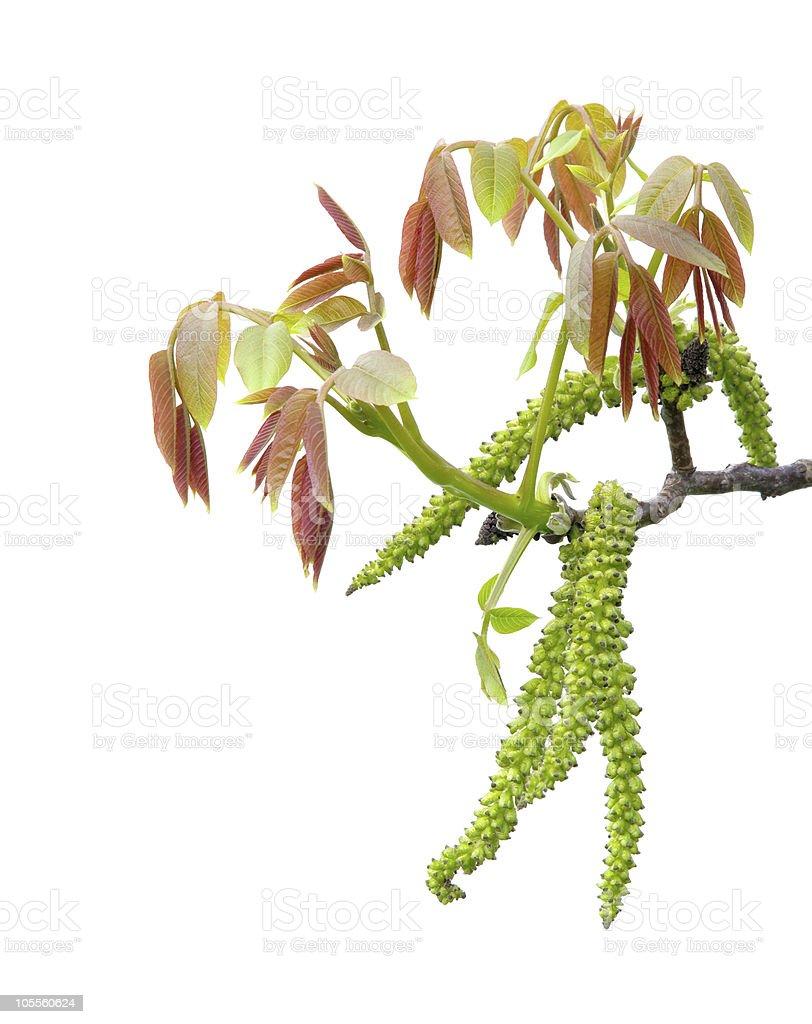walnut blossom stock photo