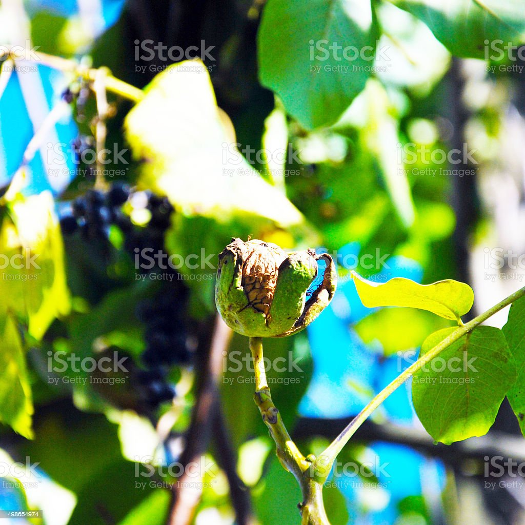 walnut growing on a tree stock photo