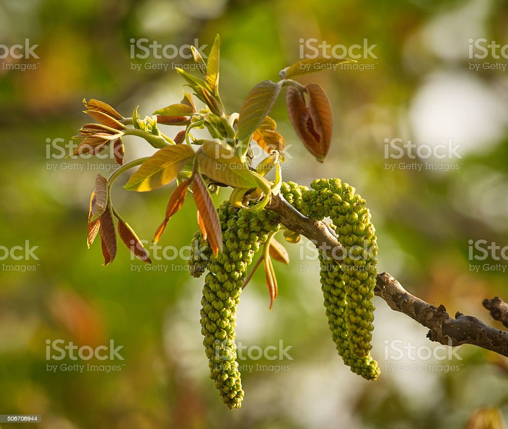 Walnut inflorescence stock photo