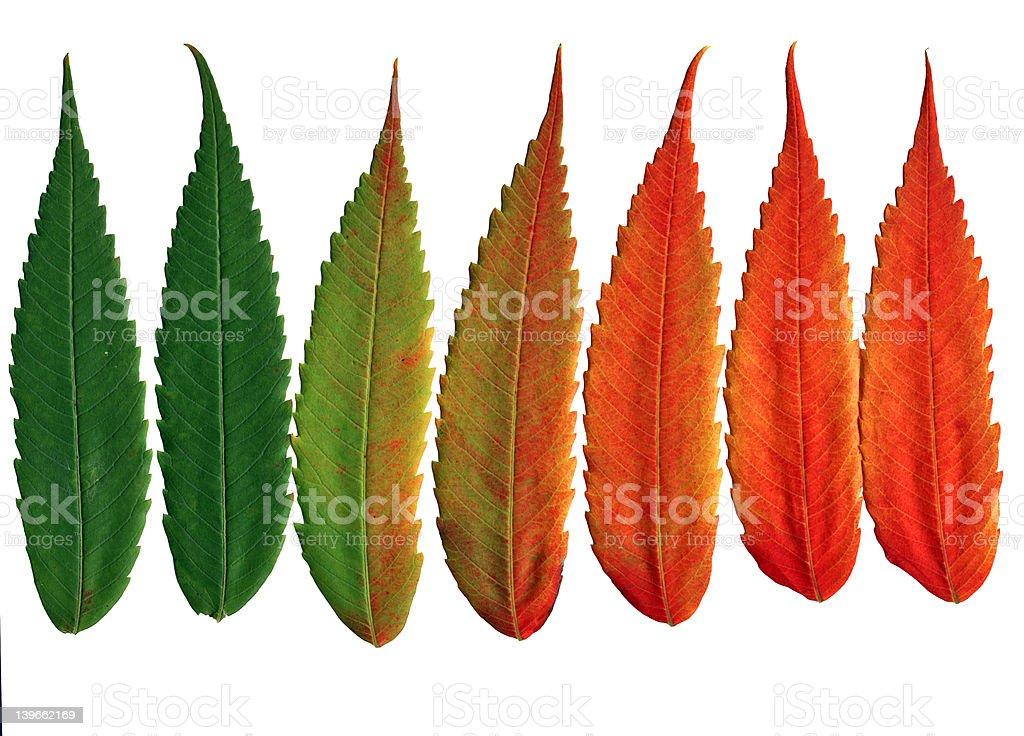 Walnut liście Zmiana kolory zbiór zdjęć royalty-free
