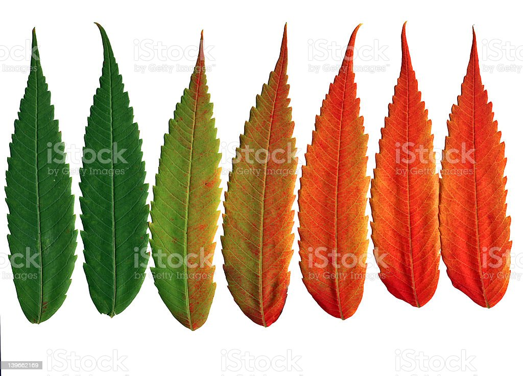 Walnut leaves changing colors stock photo