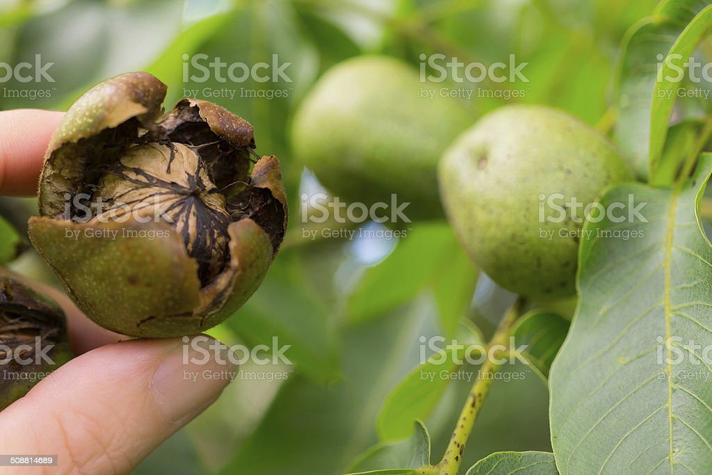 Walnut on tree stock photo