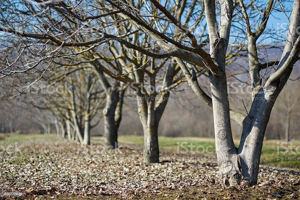 Walnut orchard in the spring stock photo