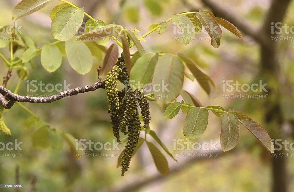 Walnut (Juglans regia) royalty-free stock photo