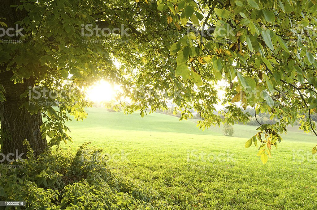 Walnut tree in the evening-light stock photo