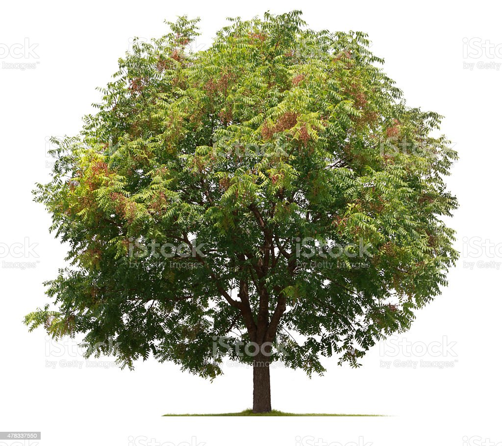 Walnut Tree Isolated On White Background stock photo