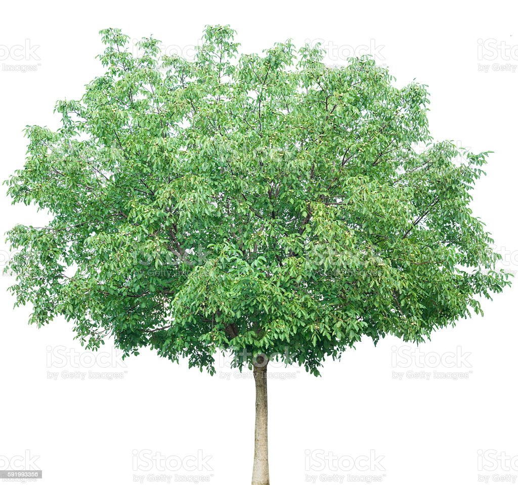 Walnut Tree Isolated On White stock photo
