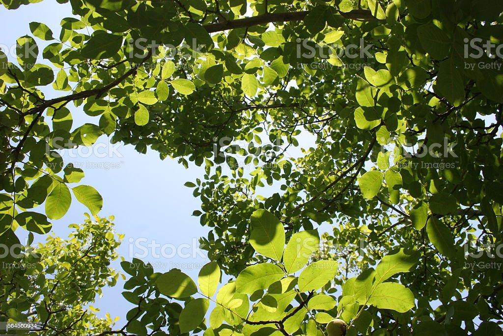 Walnut Tree Leaves in Summer stock photo