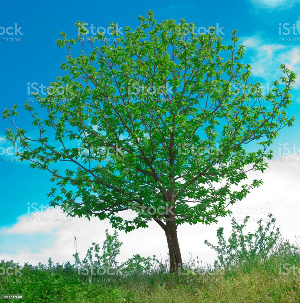 Walnut Tree Spring stock photo