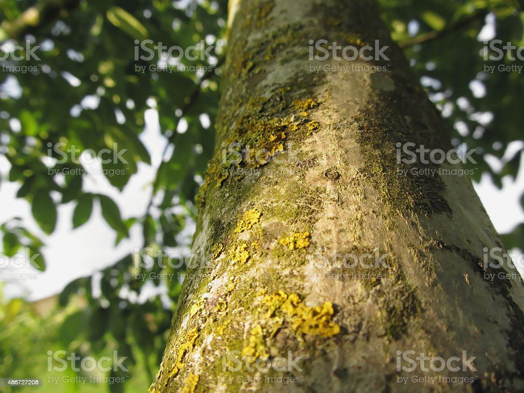 Walnut tree trunk with yellow moss fungus and lichens stock photo