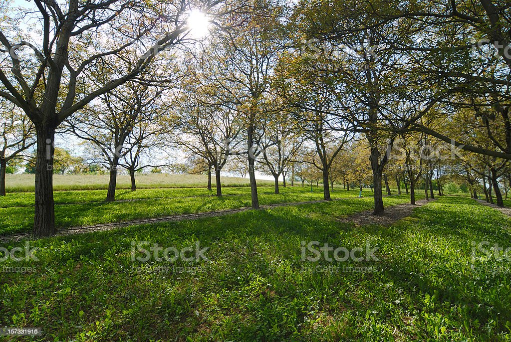 Walnut trees stock photo