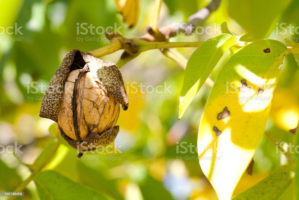 Walnuts on Branch royalty-free stock photo