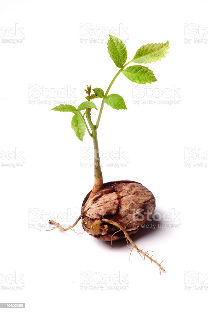 Walnuts sprout  on white stock photo