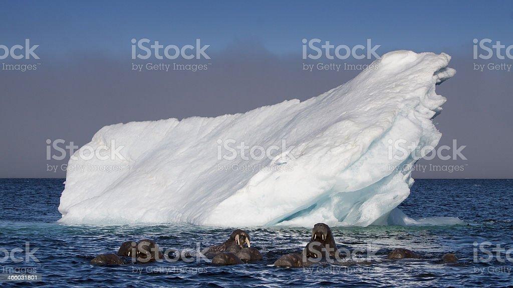 Walross, Odobenus rosmarus, walrus royalty-free stock photo