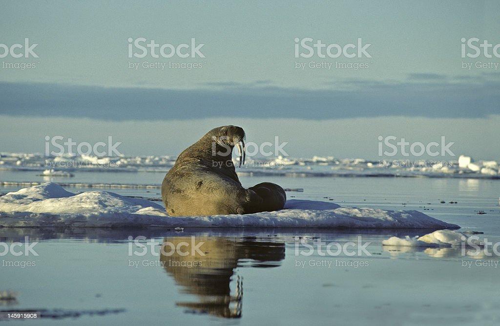 Walrus and calf stock photo