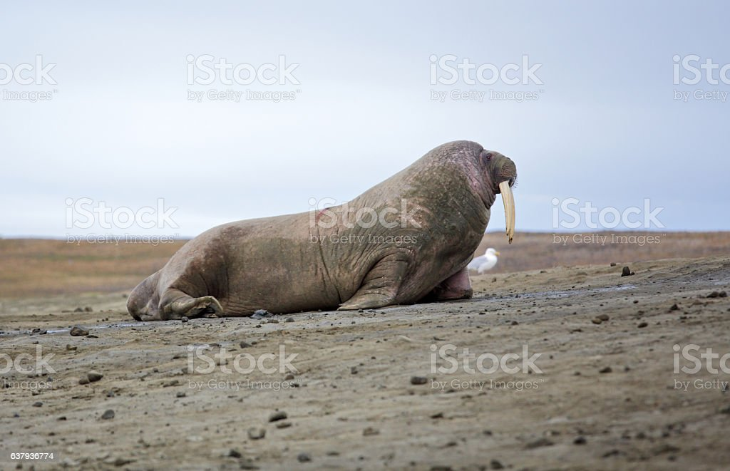 Walrus and seagull stock photo