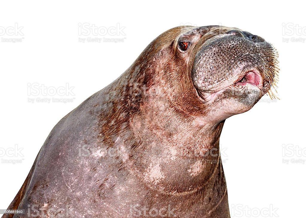 Walrus close-up stock photo