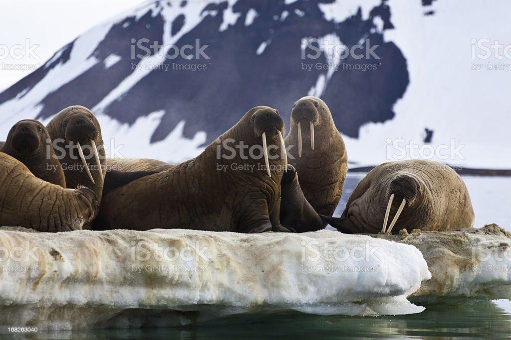 Walrus colony in  Franz Josef Land stock photo