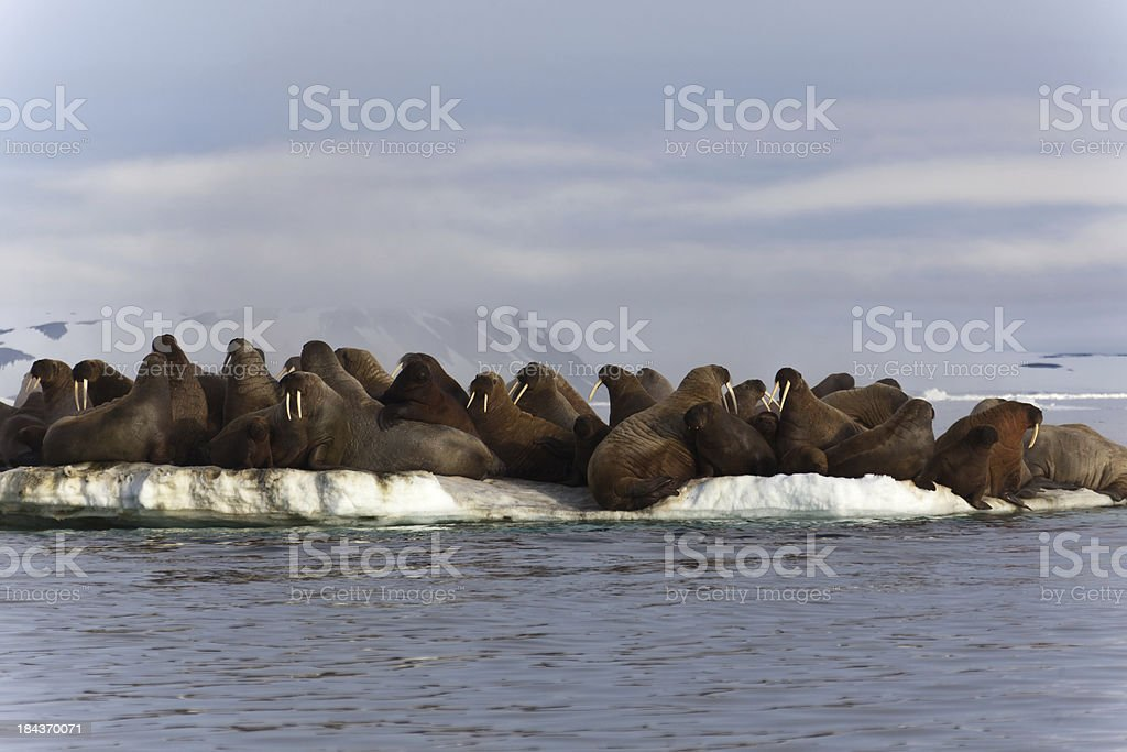 Walrus colony in  Franz Josef Land stock photo