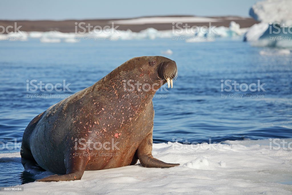 Walrus cow stock photo