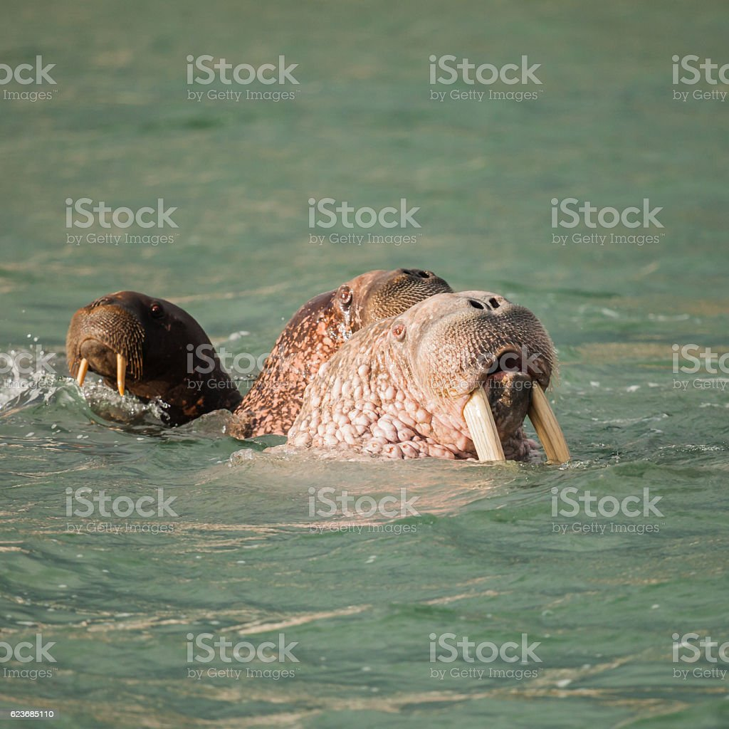 walrus in Siberai stock photo