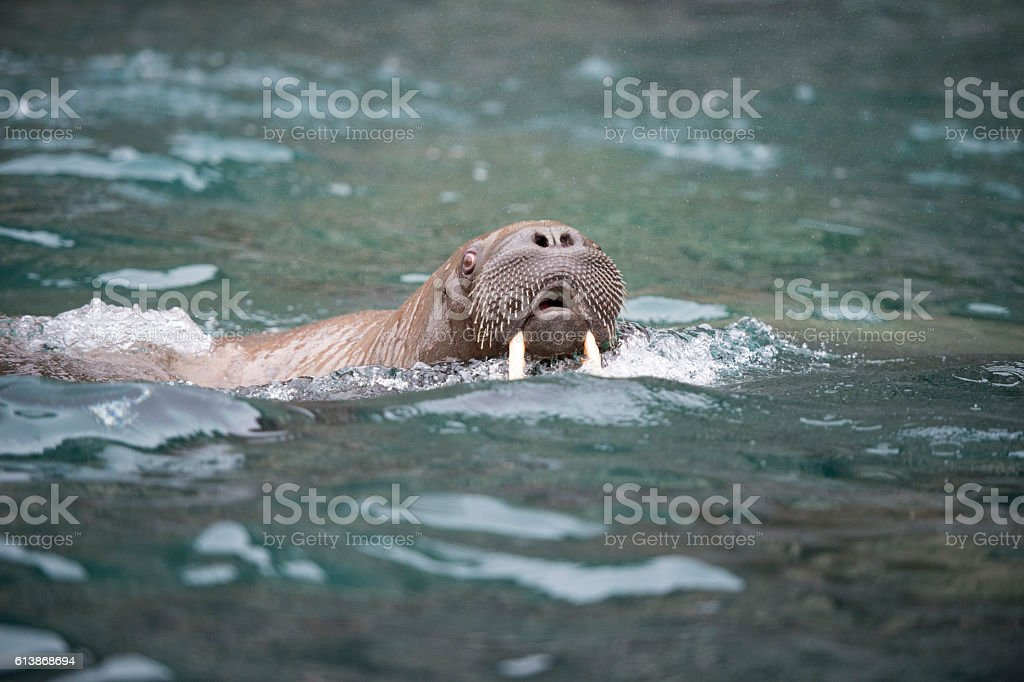 Walrus in the water stock photo