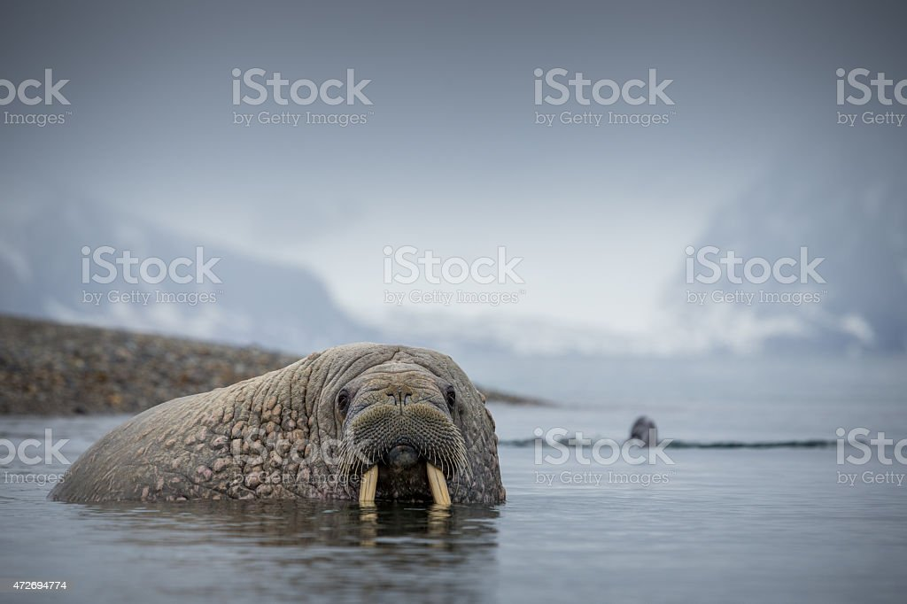 walrus mammal in Svalbard stock photo