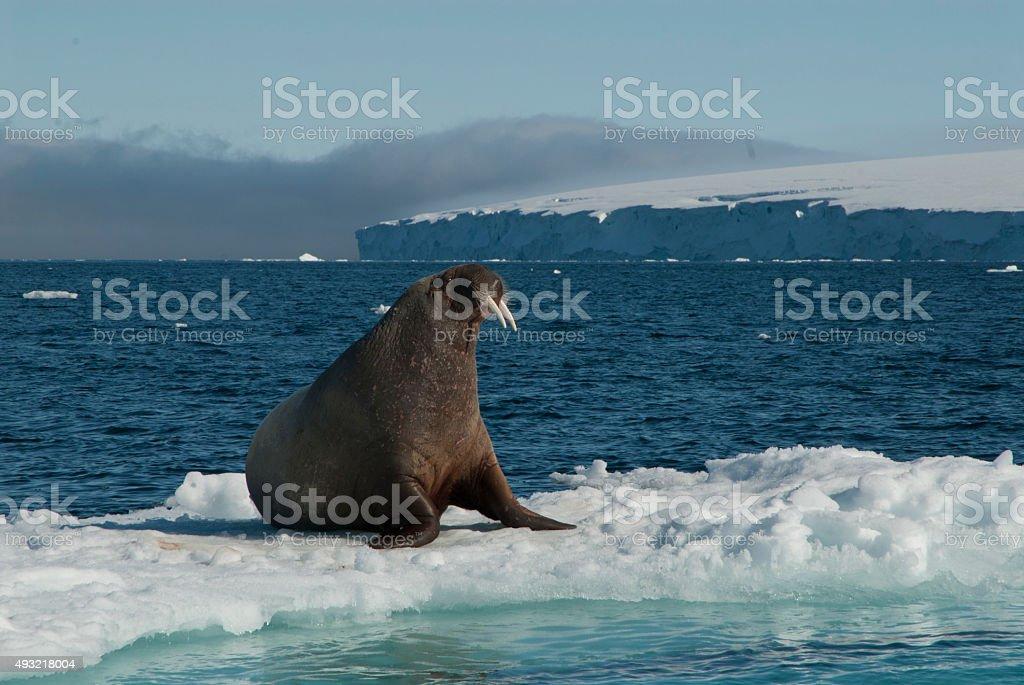 Walrus on an ice floe stock photo