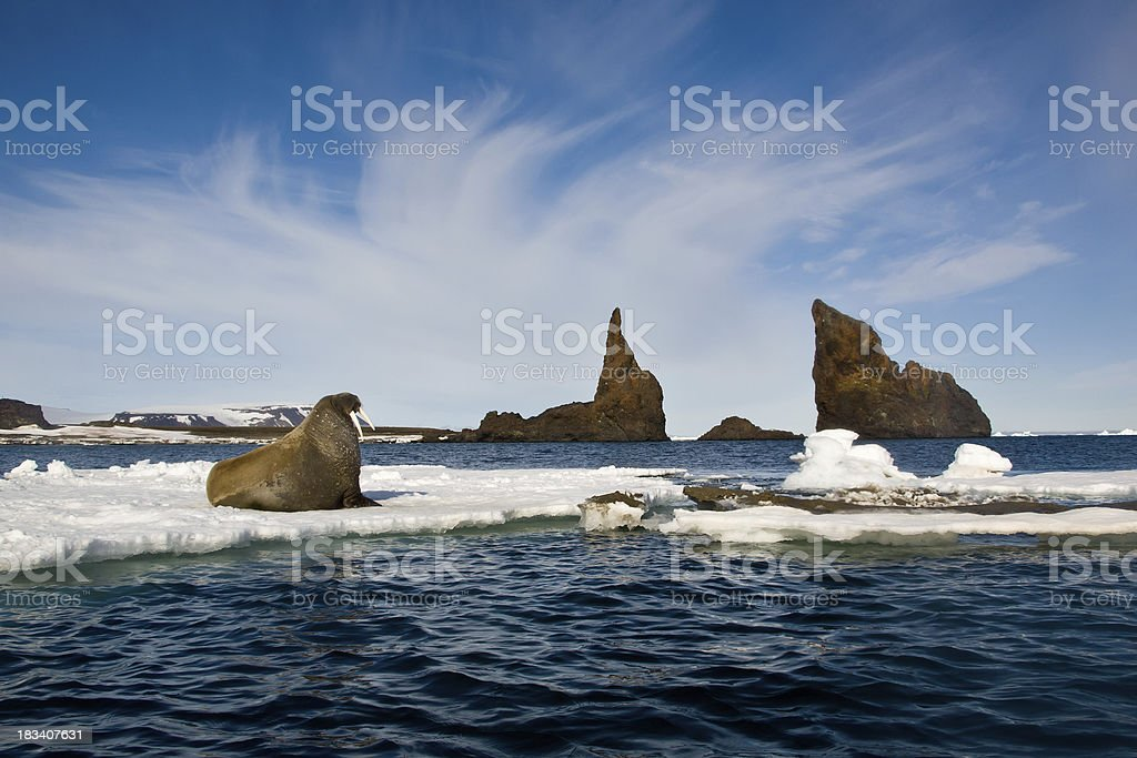 Walrus on an ice flow Franz Josef Land stock photo