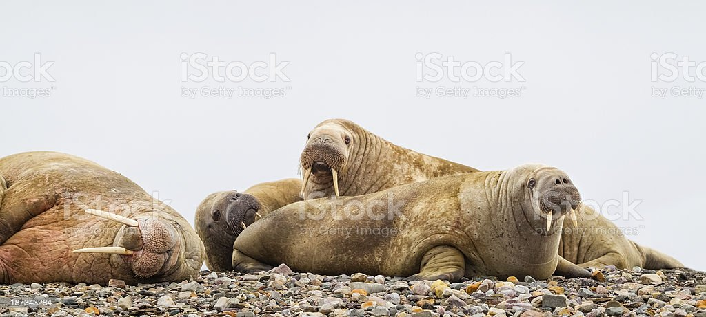 Walrus on Beach stock photo