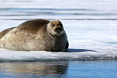 Walrus on ice floe in Canada