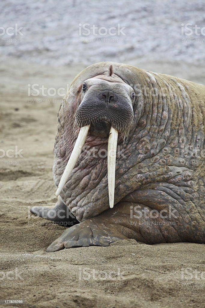 A walrus on the beach looking into the camera stock photo