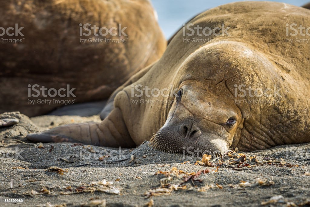 Walrus relaxing on a beach in Svalbard stock photo