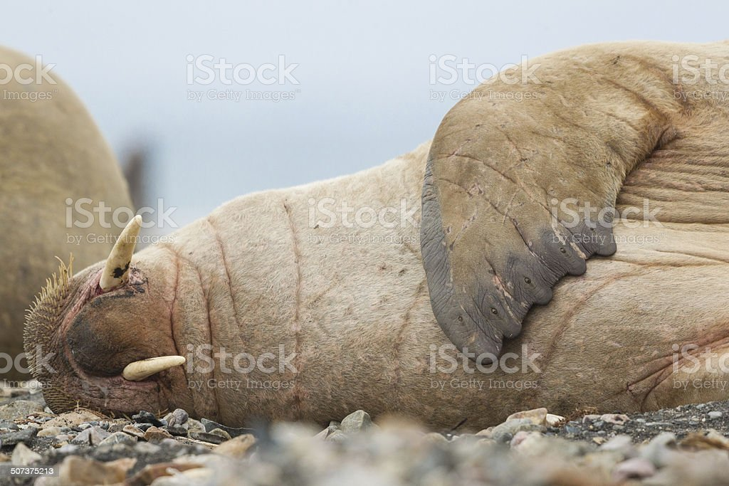 Walrus Sleeping stock photo