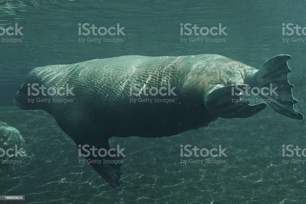 Walrus underwater royalty-free stock photo