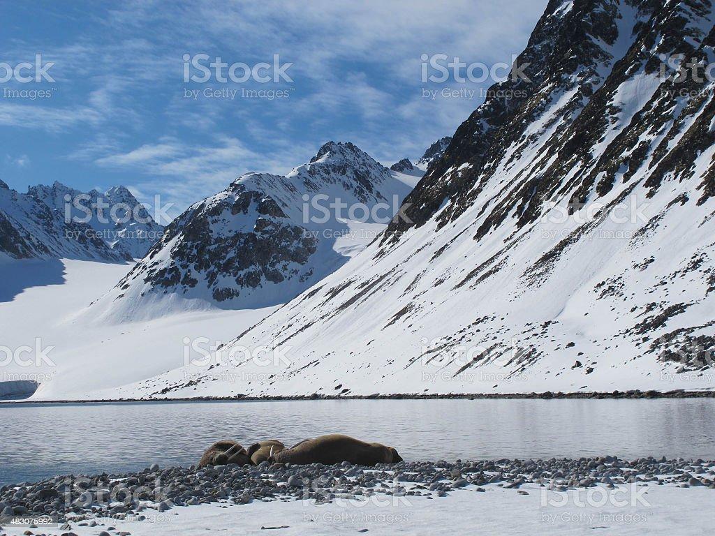 Walruses and mountain stock photo