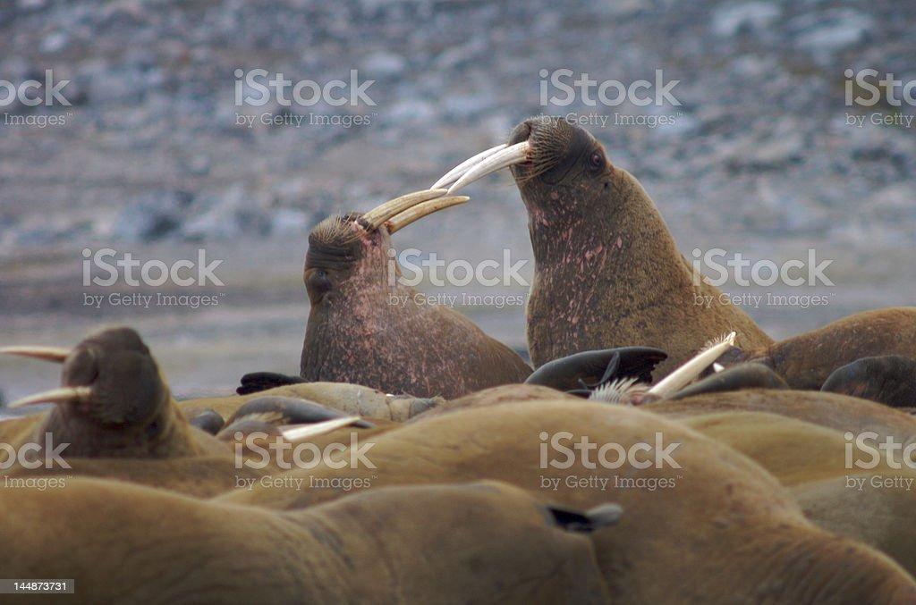 Walruses fighting stock photo