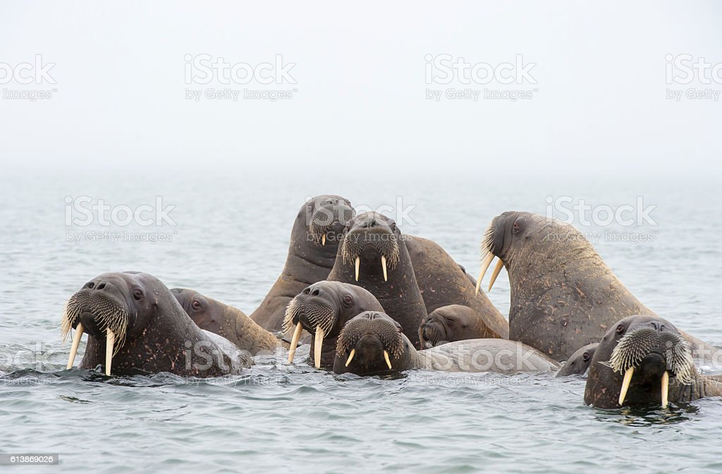 Walruses in the water stock photo
