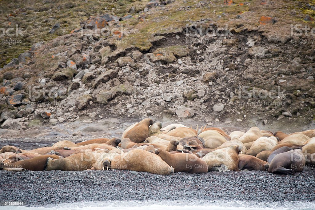 Walruses on the beach stock photo