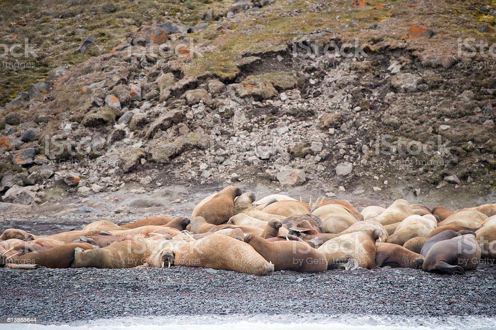 Walruses on the beach stock photo