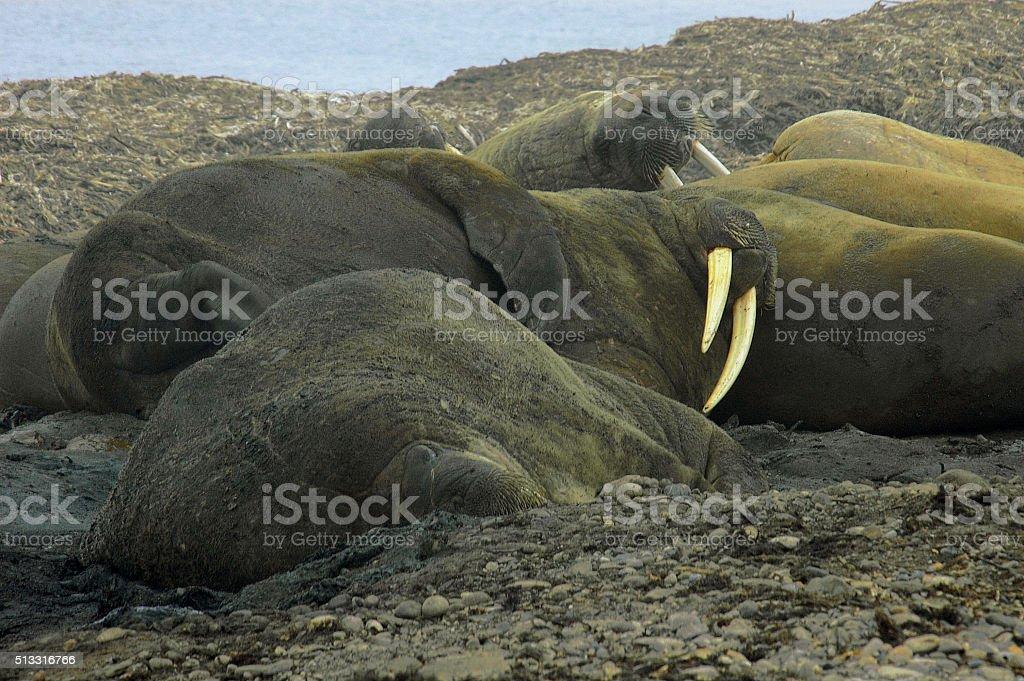 Walruses stock photo