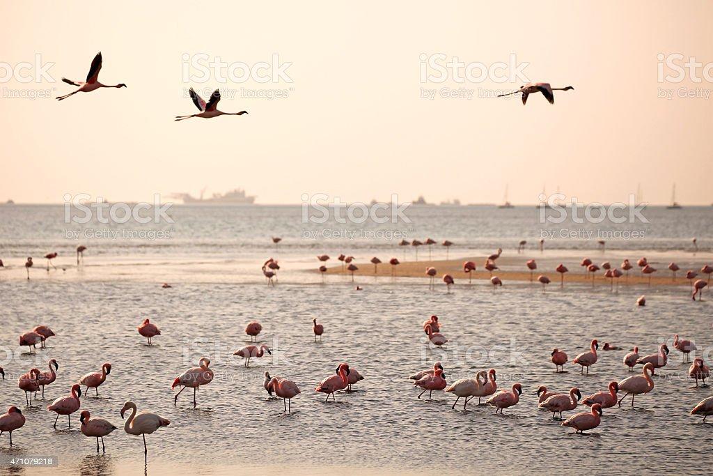 Walvis Bay Flamingos at Sunset stock photo