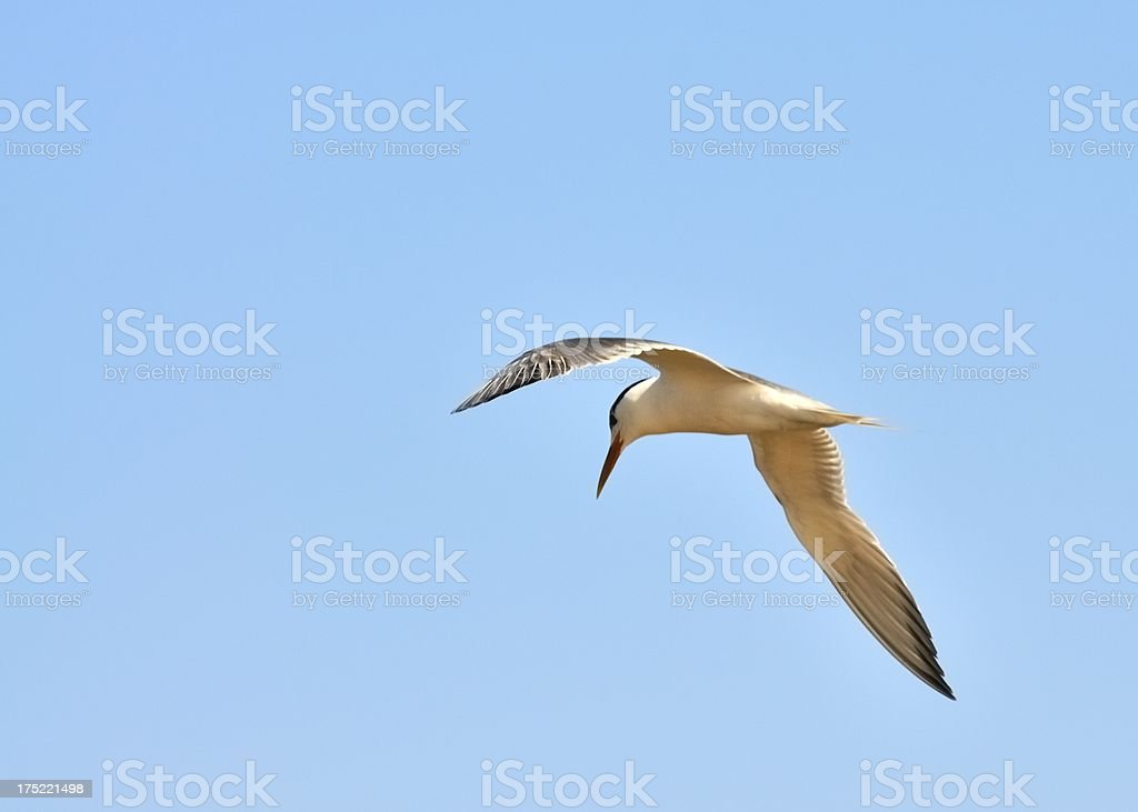Walvis Bay Great Crested Tern stock photo