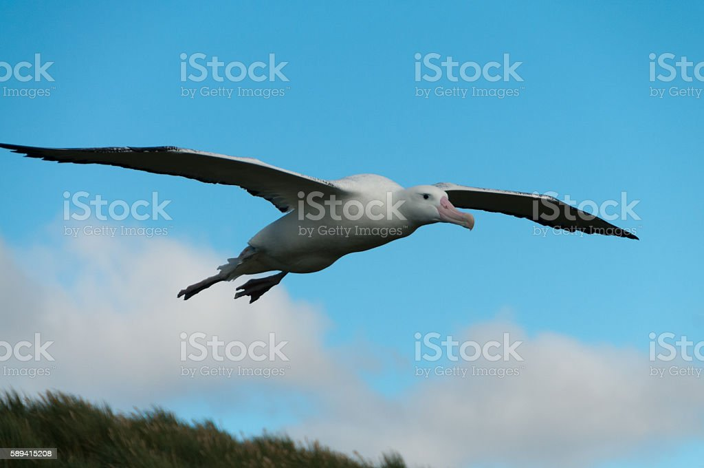 Wandering Albatross in Flight stock photo