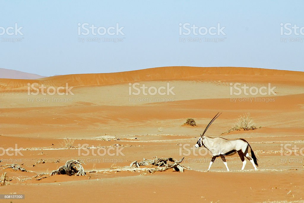 Wandering dune of Sossuvlei in Namibia with Oryx walking stock photo