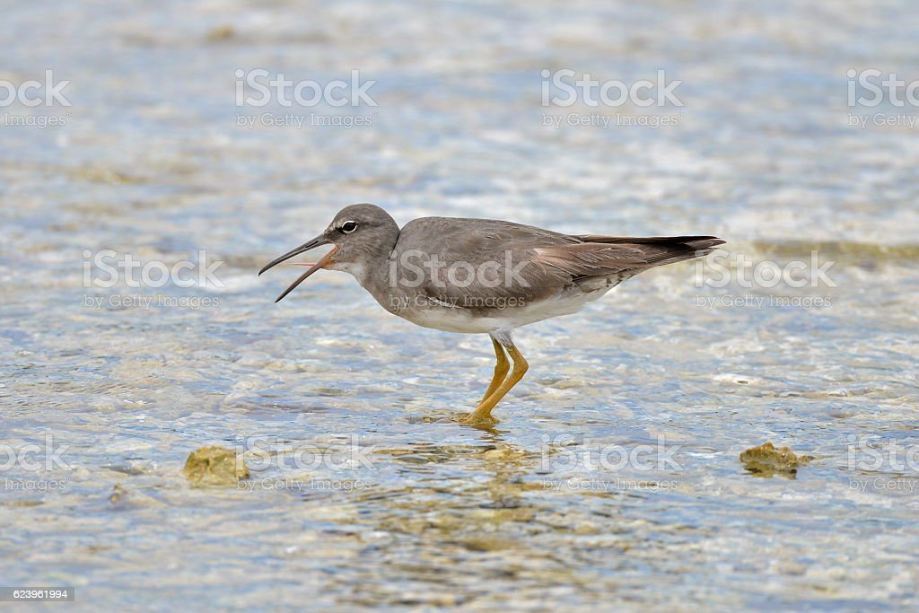Wandering Tattler, seabird stock photo