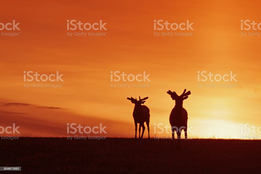 Wapiti Against the Sunset stock photo