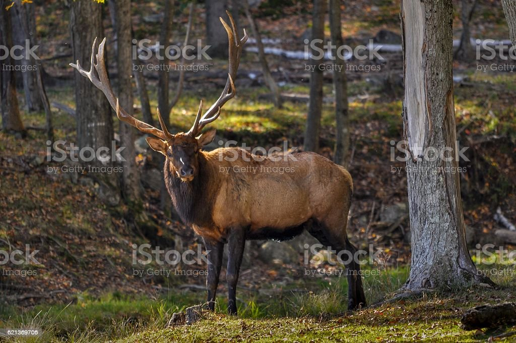 Wapiti on a nice autumn day in Quebec, Canada. stock photo