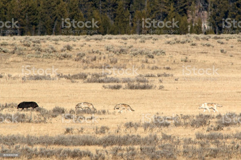 Wapiti wolf pack alpha Hayden Valley Yellowstone National Park Wyoming stock photo