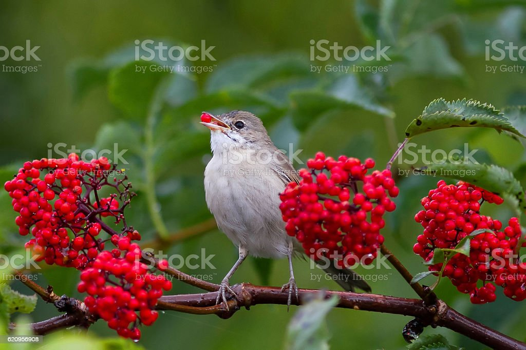 Warbler bird eats the ripe red berries stock photo